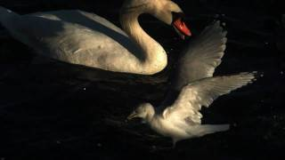かもめVS白鳥