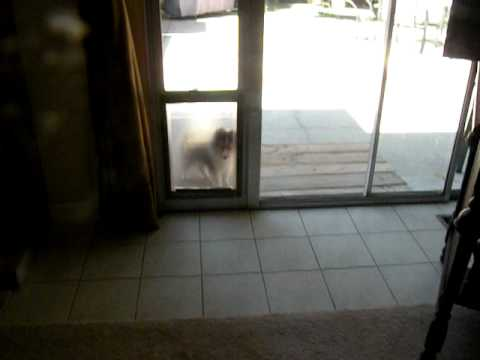 Woody learns to use the doggy door.AVI