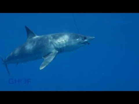 The power of the Shortfin Mako!