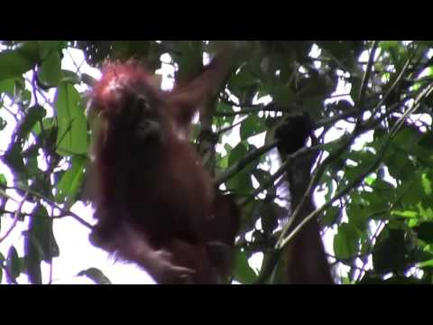 A wild Orangutan swings through the rainforests of Borneo