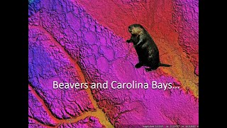 Beavers and Carolina Bays