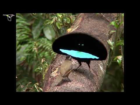 סרט על ציפורי גן עדן בגינאה החדשה