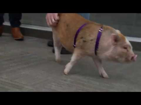 SupplyHouse.com employee's pet pig hogged all the attention in the office during her office visit!