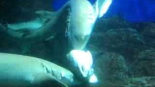 サメの交尾1