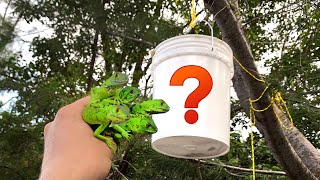 HANGING BUCKET TRAP CATCHES GREEN LIZARDS !