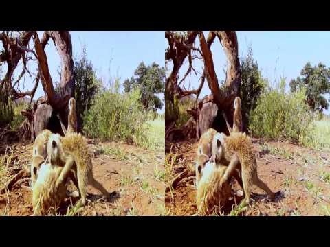 Kalahari Meerkats 3D