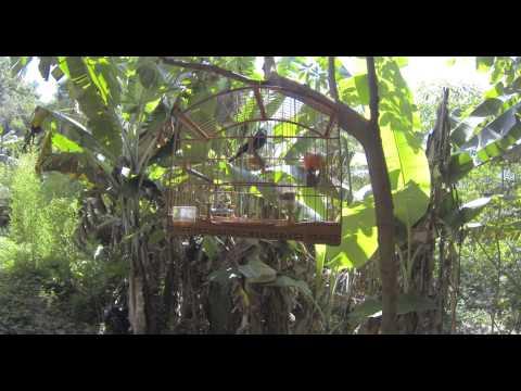 Baixar Sanhaço Frade (Corrida de Canto) - 2