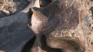 Зубы ископаемых лошадей и кости древних животных прямо на городском пляже