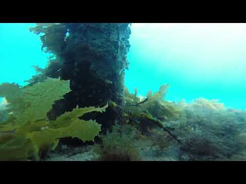 video Snorkel with Sea Dragons