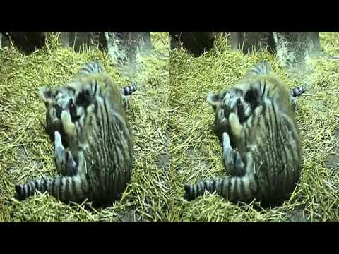 Tiger Cubs Playing At Potter Park Zoo 3D (YT3d:enable=true)
