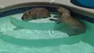 Capybaras Romeo and Tuff'n Play in Pool カピバラロメオはプールで遊ん