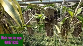 (het hang) hoa lan trầm đã trồng thuần |Minh hoa lan ngo