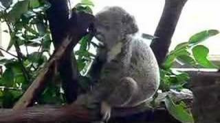 コアラが食べる