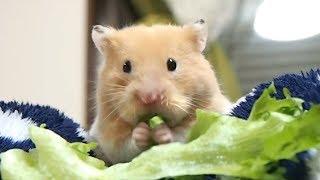 カメラ目線でレタスを食べ続けるハムスター!おもしろ可愛い癒しハムスターFunny hamster keeping eating lettuce while watching the camera!