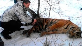 This Tiger came to people for Help, hoping to get rid of the noose around its neck.