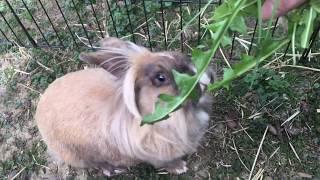 Our Rabbits Favorite Food: Dandelions