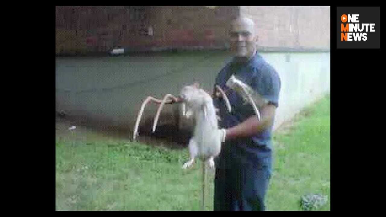 Giant Gambian Pouch Rats Are Loose in the Florida Keys