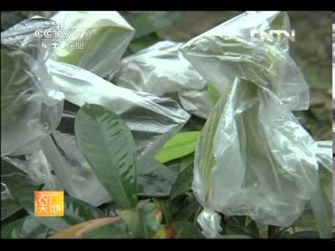 农广天地 [农广天地]山竹栽培技术(20130422)