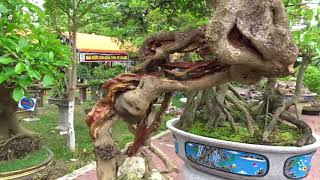 Những cây cảnh bonsai đẹp ở triển lãm /beautiful bonsai trees