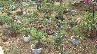 Cây cảnh rẻ tiền nhưng cũng đáng để xem qua - mini bonsai
