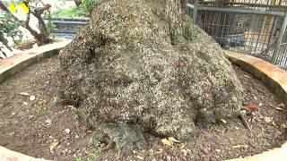 Vườn cây vua chúa  Việt Nam  cây lộc vừng của thượng thư non bộ  đep