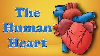 The Human Heart | #aumsum #kids #science #education #children
