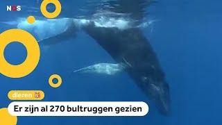 Walvissen zwemmen bij New York