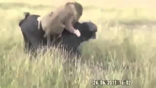 Búfalo Humilla a León (Videos Asombrosos)