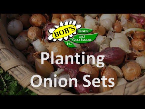 Planting Onion Sets