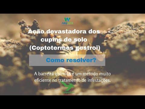 Ataque devastador do cupim tipo Coptotermes ... confira!