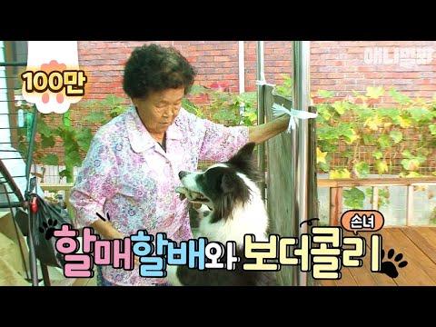 파워갑 보더콜리 손녀 덕에, 할매할배 관절 열일하신다~ | SBS 동물농장x애니멀봐 (ENG)
