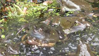 share Lot of Wild Common Frogs mating & Frogspawn 8mar19 Cambridge UK 1140a 4k 2160p day5