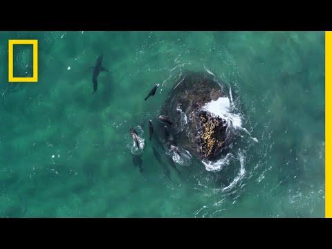 Fur Seals vs. Great White Sharks | Hostile Planet