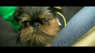 Hector the Brussels Griffon tries Agility