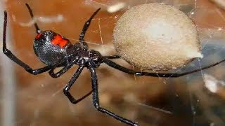 Top 10 Most DANGEROUS Insects in the world! Deadly Bugs!!