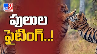 Ferocious fight between two tigers go viral on social medi..