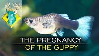 TL;DR - The Pregnancy of the Guppy