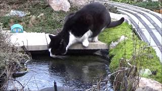 Enzo, the 3 legged cat, gets frustrated by the frozen pond