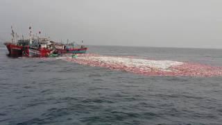 Mẻ cá bè vàng 200 tấn đảo cồn cỏ