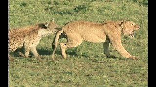 Hyenas attack lions - hyenas vs lions - animal fights