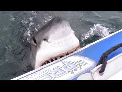 Белая акула атакует надувную лодку