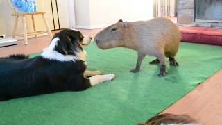 Dog and Capybara