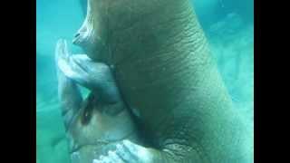 Walrus Love #3