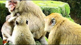 Popeye Much Concern Maria Do Wrong On Polly | Baby Monkey Polly Scare & Worry Maria.