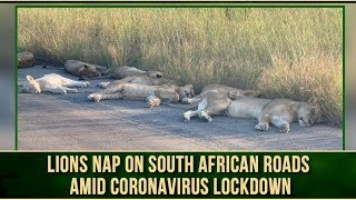 Viral video: Lack of humans allows Lions to sleep on road ..