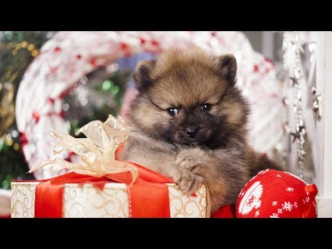 Getting a Puppy for Christmas Compilation (2017)