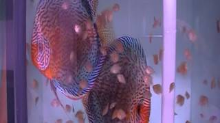 successful discus breeding part 3