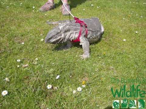 walking with african white throated monitor lizard - YouTube