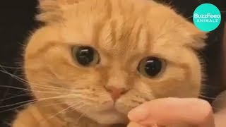 PREPARE to LAUGH - Funny CATS Compilation | MAKEUP for Cat | Pet Video | BuzzFeed Animals
