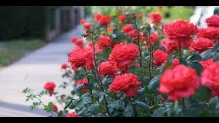 Cách trồng hoa hồng ra bông nhiều và đẹp cực dễ ai cũng làm được